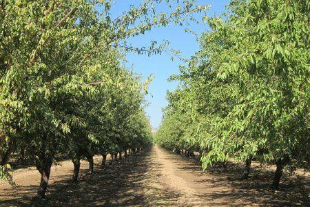 Almond Harvest